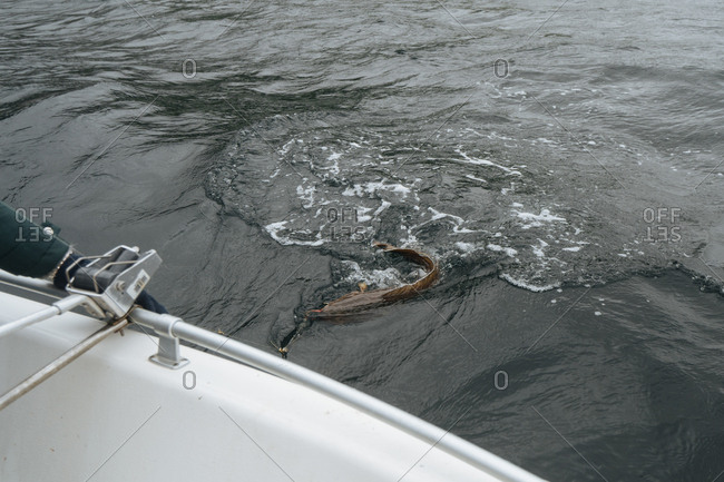 Fish being reeled in off the side of a boat.