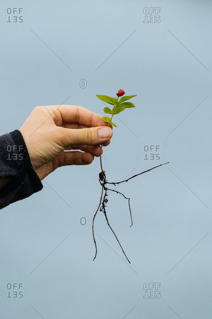 Hand holding a small flower blossom with roots