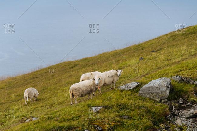 Sheep on a green hillside