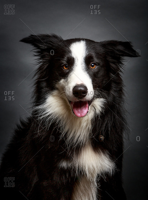 Wonderful fluffy Border Collie staring at camera while sitting on gray background