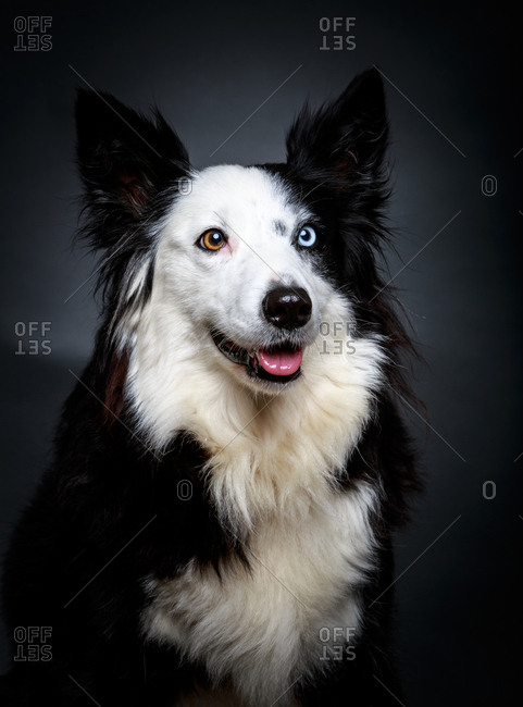 Funny dog with different eyes