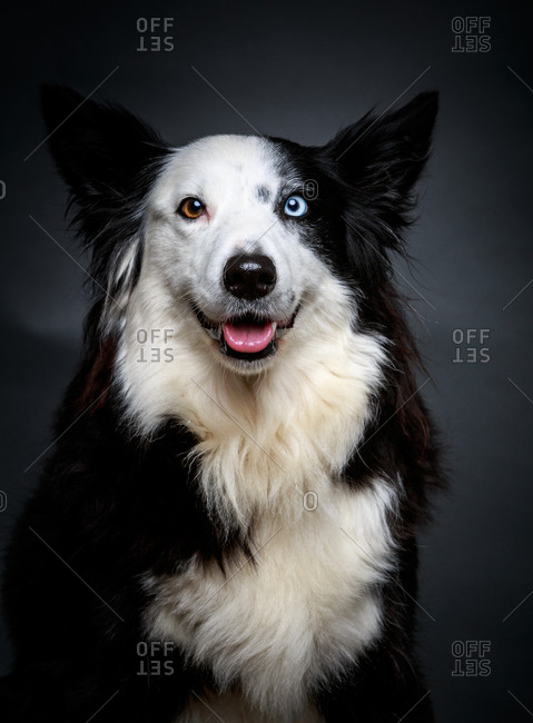 Amazing Border Collie with brown and blue eyes sitting on gray background