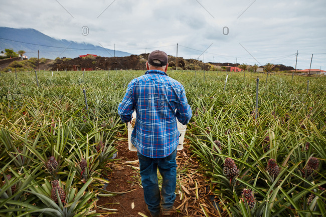 Back view of man carrying containers while walking among pineapple bushes on plantation, Canary Islands