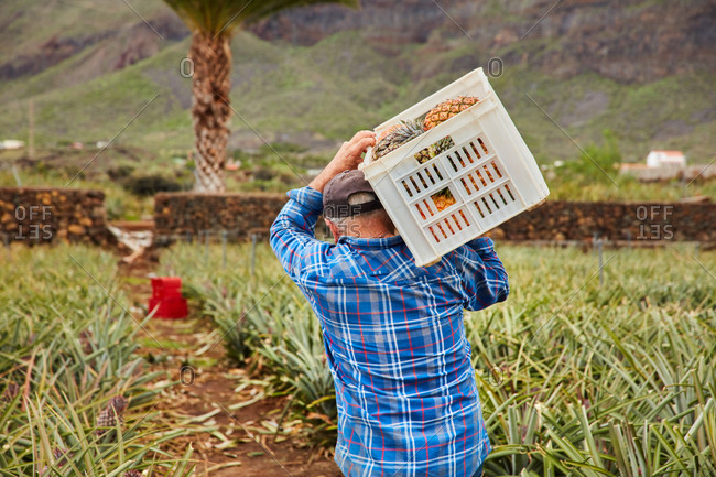 Back view of man carrying containers on shoulders while walking among pineapple bushes on plantation, Canary Islands