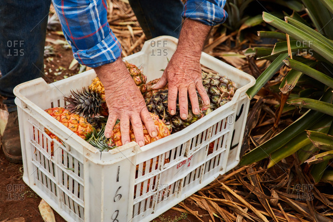 Crop man working on tropical farmland and gathering ripe pineapples in plastic containers, Canary Islands