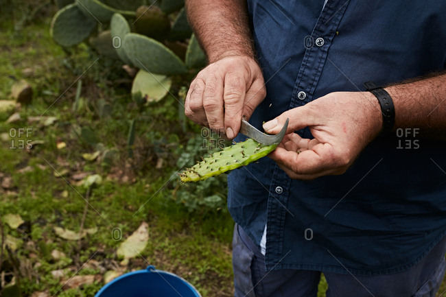 Crop man cutting off peel of sweet fruit of prickly pear, Canary Islands