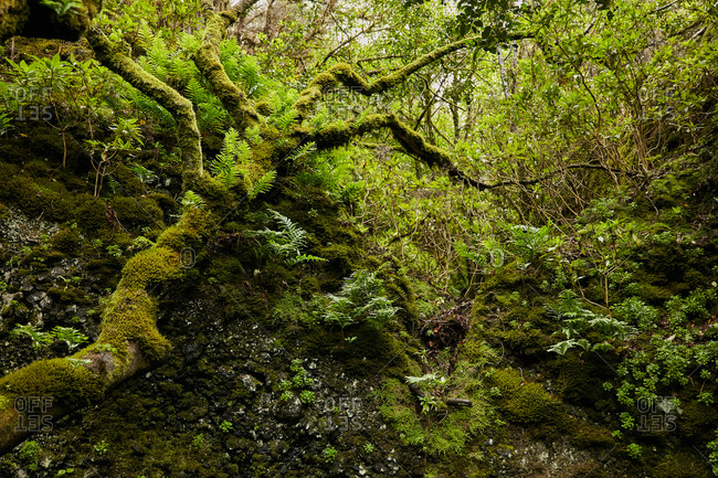 Landscape of beautiful green foliage and mossy trees in tropical forest, Canary Islands