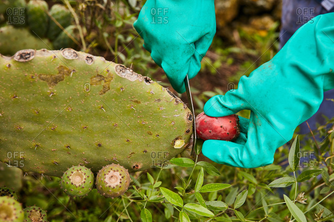 Faceless worker in gloves cutting off ripe fruit from pear cactus on tropical plantation, Canary Islands