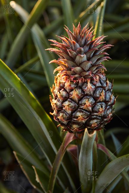 Tropical green bushy tree with ripening pineapple on plantation of El Hierro island
