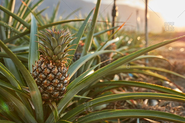 Tropical green bushy tree with ripening pineapples on plantation of El Hierro island