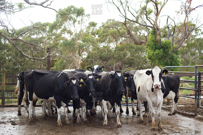 Cows standing in dairy yards ready for milking