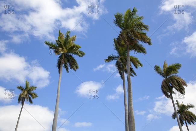 March 6, 2019: Cuba, Havana, palm trees along the Malecon