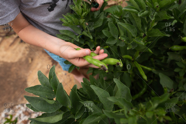 Young boy holding pea pods in his hands.