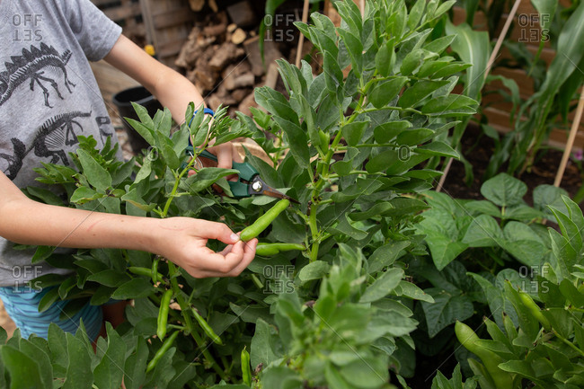 Boy picking pea pods off of a plant in a garden.