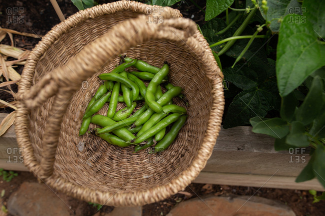 Green pea pods in a basket in a garden.