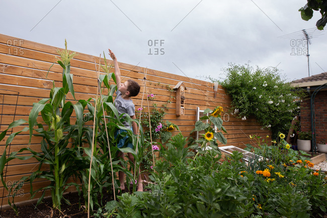 Boy reaching to the top of a corn stalk in the middle of a garden.