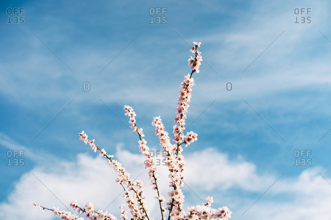 Peach blossoms against blue sky in Aitona, Lleida