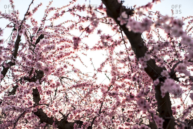 Peach blossoms in Aitona, Lleida