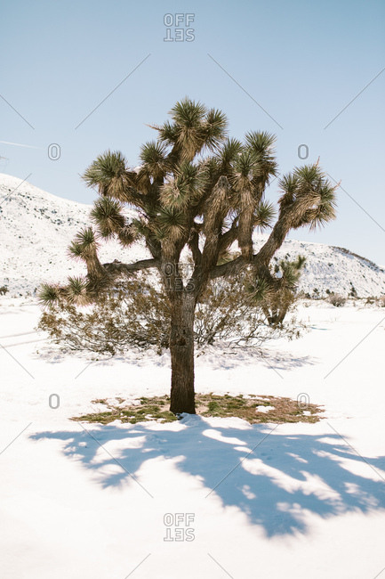 Joshua National Park covered in snow