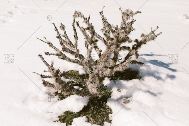Cholla cactus covered in snow