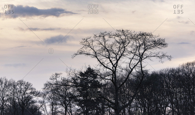 Bare trees in a forest at sunset