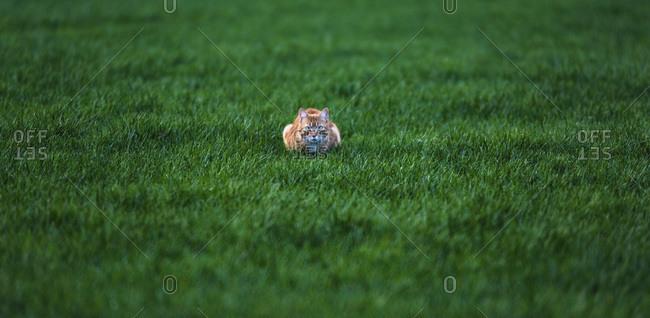 Orange cat crouching in a green field