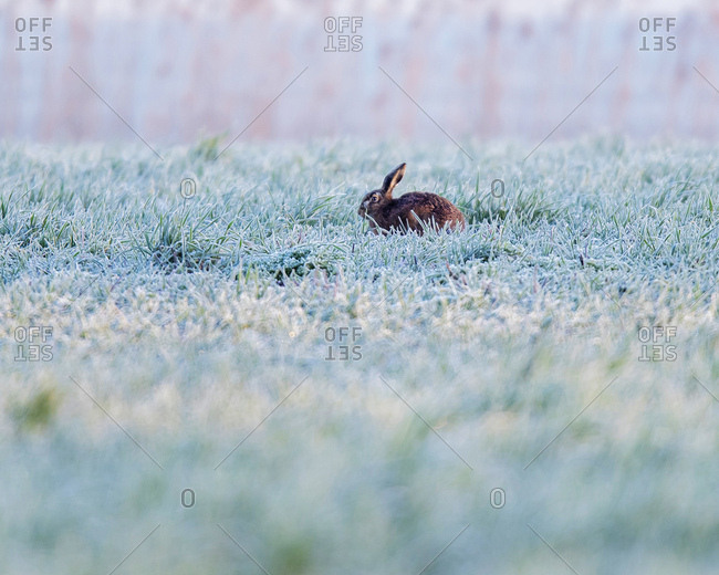 Rabbit in frosty field