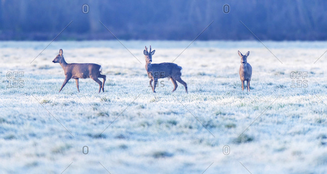 Three young deer in a frosty field
