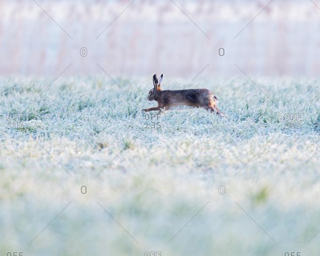 Rabbit hopping through a frosty field