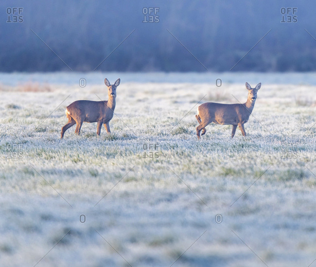 Two female deer in a frosty field