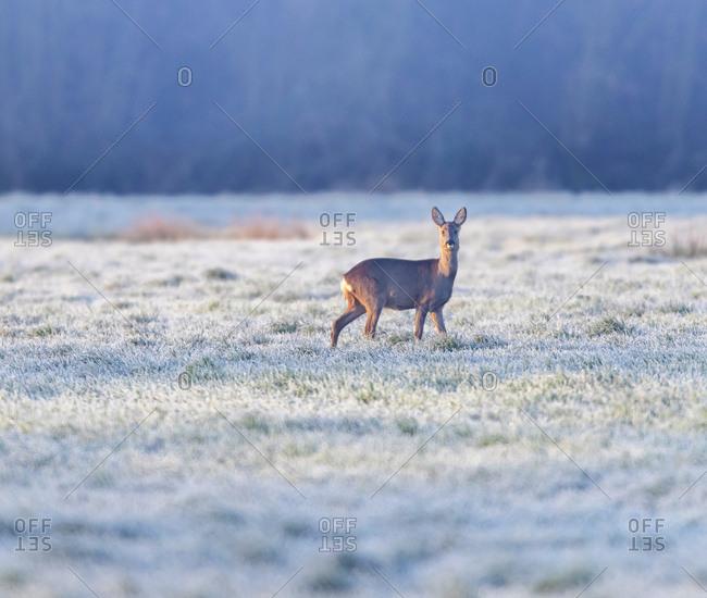 A female deer in a frosty field