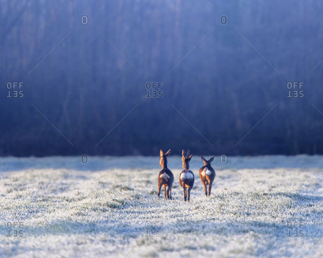 Rear view of three young deer in a frosty field