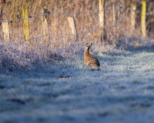 Rabbit at the edge of a frosty field