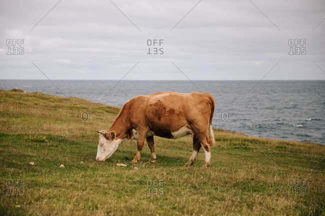 Brown cow grazing in field by water