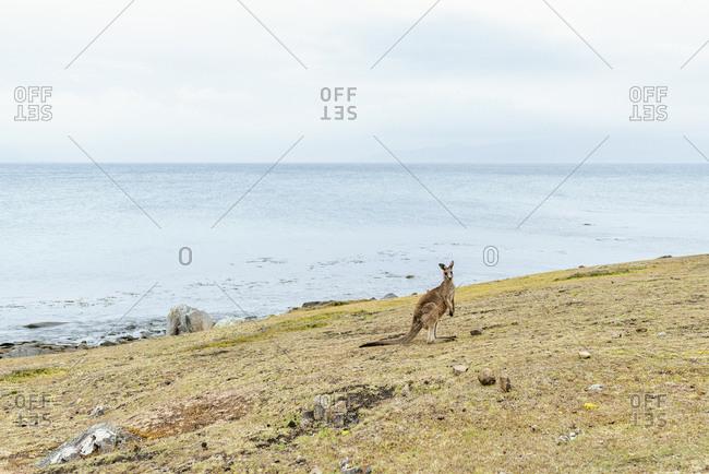 Australia- Tasmania- Maria Island- kangaroo on a mwadow near the sea