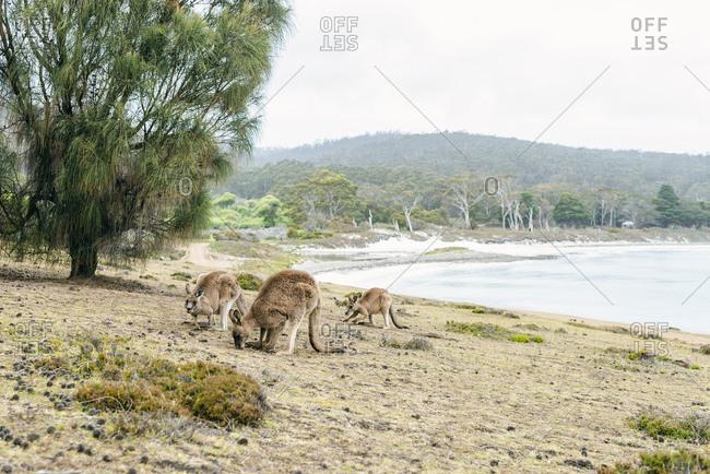 Australia- Tasmania- three foraging kangaroos