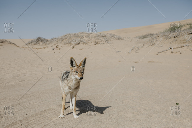 Namibia- Walvis Bay- jackal in Namib-Naukluft National Park