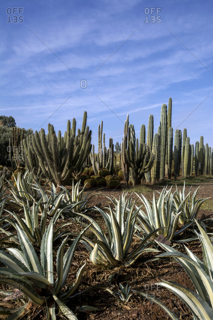 Morocco- Cactuses