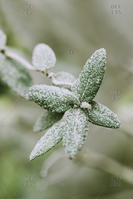 Leaves of rose shrub covered with frost- close-up