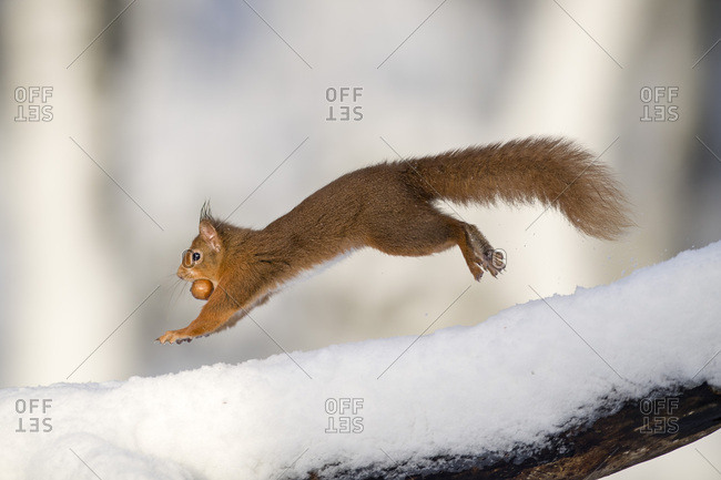 Jumping Eurasian red squirrel with nut in winter