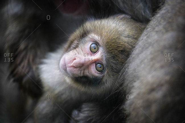 Portrait of young Japanese macaque
