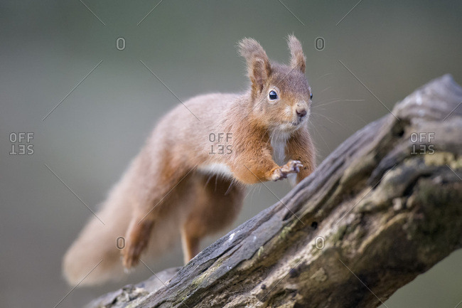 Jumping Eurasian red squirrel