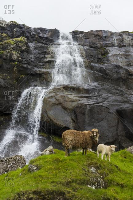 Denmark- Faroe islands- Shetland sheeps before a Waterfall in Estuyroy