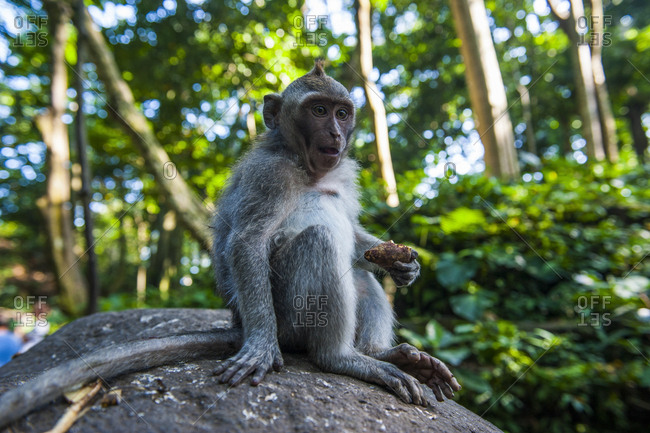 ndonesia- Bali- Sacred Monkey Forest- long tailed macaque eating- Macaca fascicularis