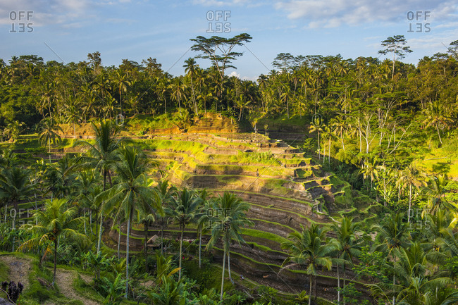 Indonesia- Bali- Tegallalang rice terraces and sun light