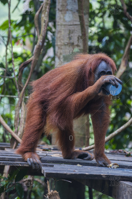 Indonesia- Sumatra- Bukit Lawang Orang Utan Rehabilitation station- feeding time for the Sumatran orangutan
