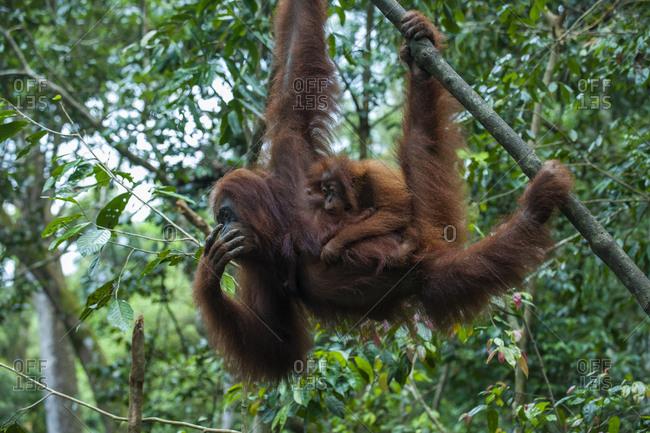 Indonesia- Sumatra- Bukit Lawang Orang Utan Rehabilitation station- mother and baby Sumatran orangutan swinging through the forest
