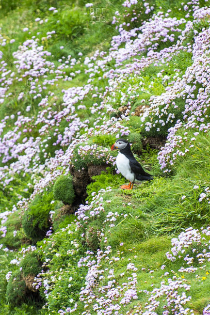 United Kingdom- Scotland- Shetland Islands- Atlantic puffin standing on blooming flowers