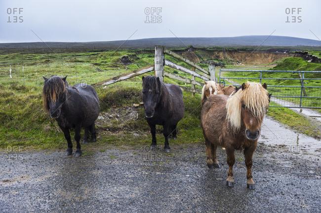 United Kingdom- Scotland- Shetland Islands- Shetland ponies