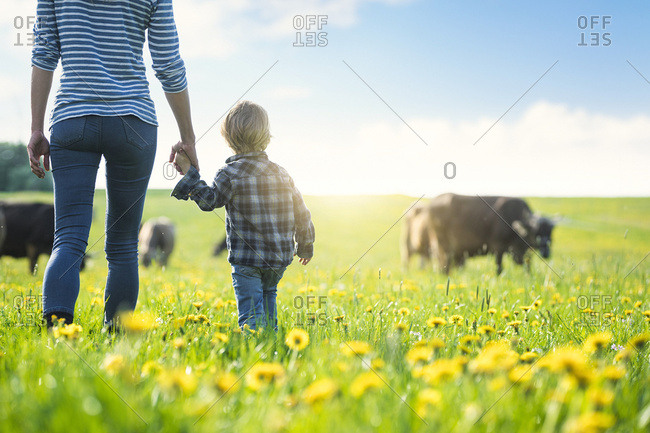 Mother and son holding hands and looking at cows grazing on a meadow with dandelions